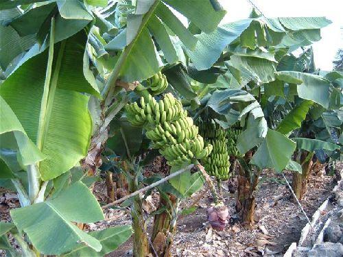 Bananen von Teneriffa - Bild 9